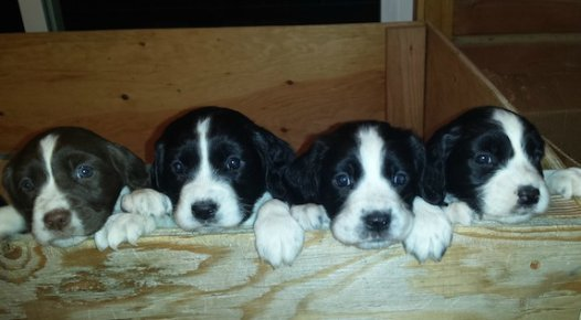 Cute English Springer Spaniel puppies
