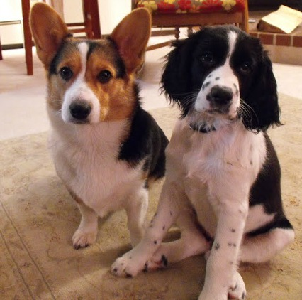 Cute Corgie and English Springer Spaniel