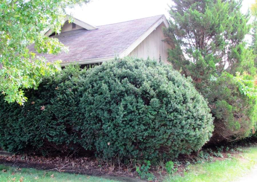 Overgrown shrubbery hides the entrance to this house.