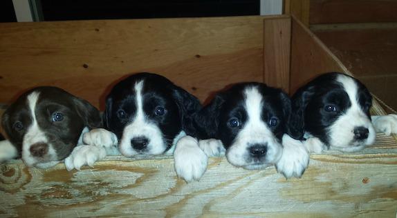 Cute English Springer Spaniel puppies