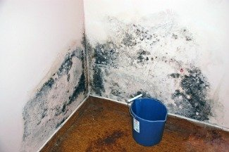 Black mold on drywall