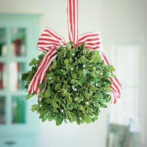 Hanging mistletoe