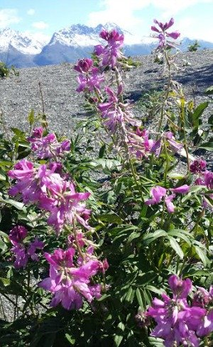 Wildflowers along the Knik River