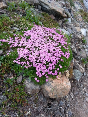 Pink alpine flowers in Alaska